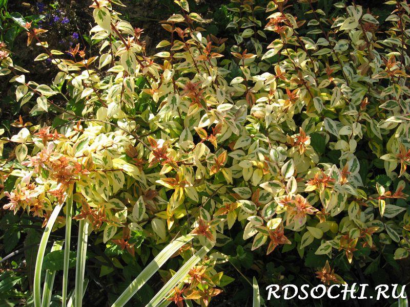 Абелия крупноцветковая  Дача дом
