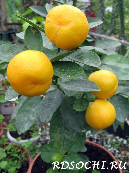 Купить цитрусовые горшечные растения с доставкой по Москве