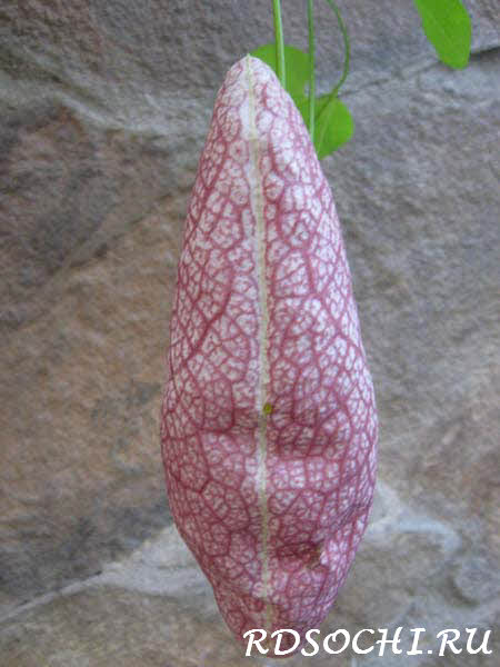 Aristolochia gigantea аристолохия или кирказон