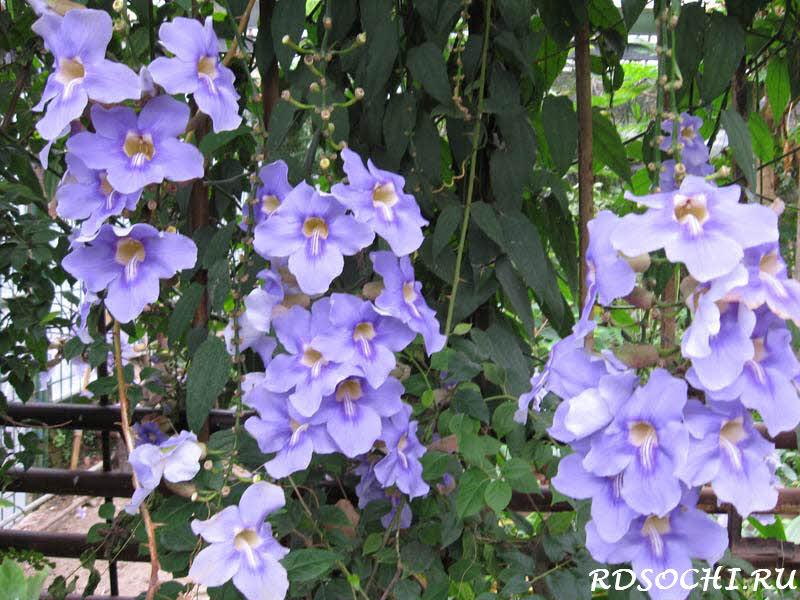 Как заказать семена цветов тунбергия крупноцветковая голубая высокие розы купить в челябинске